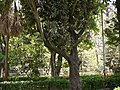Elaeodendron orientale (4609004043).jpg