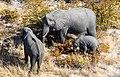 Elefantes africanos de sabana (Loxodonta africana), vista aérea del delta del Okavango, Botsuana, 2018-08-01, DD 37.jpg