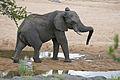 Elephant (Loxodonta africana) in Timbavati riverbed (17317498556).jpg