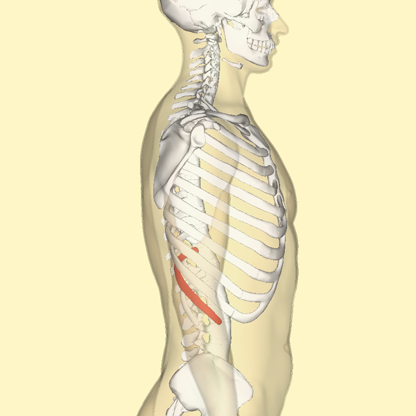File:Eleventh rib lateral.png