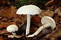 Elfenbeinschneckling Hygrophorus eburneus.jpg