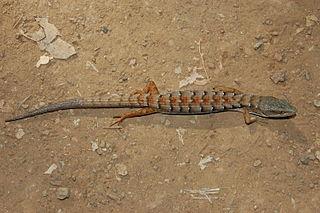 Southern alligator lizard Species of lizard