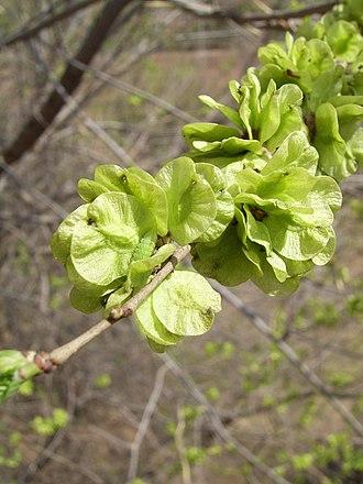 Ulmus pumila - Image: Elm in beijing