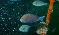 Elongate Surgeonfishes (Acanthurus mata) (8494826009).jpg