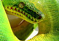 Emerald tree boa snout.JPG