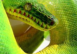 Emerald tree boa snout.JPG