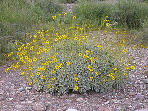 Description de l'image Encelia farinosa 2005-02-20.jpg.