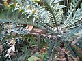 Encephalarios arenatius plant.jpg