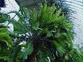 Encephalartos Altensteinii in Lednice Greenhouse1.jpg