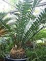 Encephalartos ferox-BU Greenhouse.jpg