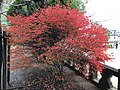 Enkianthus perulatus in Okayama Shrine in Ogi Park.jpg
