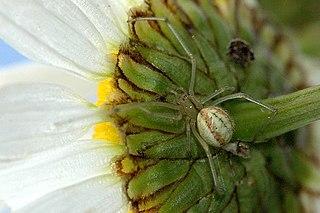 <i>Enoplognatha</i> Genus of spiders