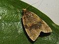 Epagoge grotiana - Brown-barred tortrix (41324561041).jpg