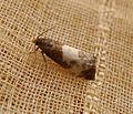 Epiblema cynosbatella. Tortricidae - Flickr - gailhampshire.jpg