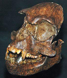Pliopithecoidea superfamily of primates (fossil)