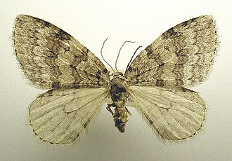 Pale November moth - Mounted
