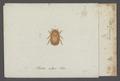 Epuraea - Print - Iconographia Zoologica - Special Collections University of Amsterdam - UBAINV0274 017 06 0004.tif