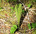 Equisetum telmateia (Giant Horsetail), Hewan Bog, Roslin, Midlothian.jpg