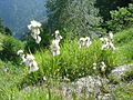 Eriophorum angustifolium 3.jpg