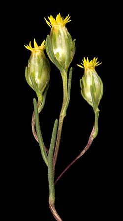 Erymophyllum tenellum - Flickr - Kevin Thiele.jpg