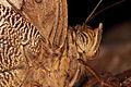 Eryphanis reevesii - Schmetterlingshaus Wien 2.jpg