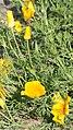 Eschscholzia californica 01.jpg