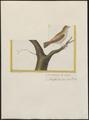 Estrilda haemorrhoidalis - 1700-1880 - Print - Iconographia Zoologica - Special Collections University of Amsterdam - UBA01 IZ15900125.tif