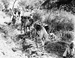 Ethiopians transporting supplies by camel through vegetation, January 22, 1941 (Photographer: FE Palmer, No 1 Army Film & Photographic Unit, (UK).)