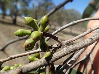 <i>Eucalyptus caliginosa</i> species of plant