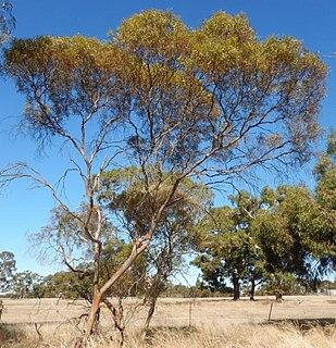 <i>Eucalyptus leptophylla</i> species of plant