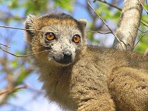 Cousins (TV series) - Uhlenbroek observes crowned lemurs on the Ankarana Plateau