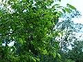 Euonymus sachalinensis BT 01.jpg