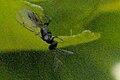 Eupelmus.vesicularis.-.lindsey.jpg