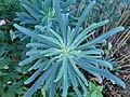 Euphorbia aux Jardins de Bagatelle 3.JPG