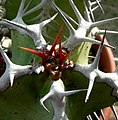 Euphorbia avasmontana, spines.jpg