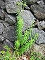 Euphorbia azorica (Habitus) 2.jpg