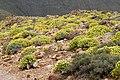 Euphorbia lamarckii 001.jpg