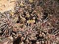 Euphorbia rudis-PICT2475.jpg