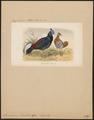 Euplocomus vieillotii - 1869 - Print - Iconographia Zoologica - Special Collections University of Amsterdam - UBA01 IZ16900280.tif