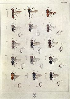<i>Platymya</i> genus of insects