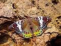 Euthalia lubentina by Sagar Sarang.jpg