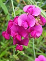 Everlasting Sweetpea - geograph.org.uk - 553832.jpg