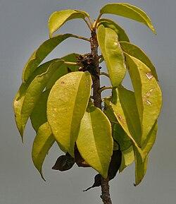 Excoecaria agallocha - Wikispecies