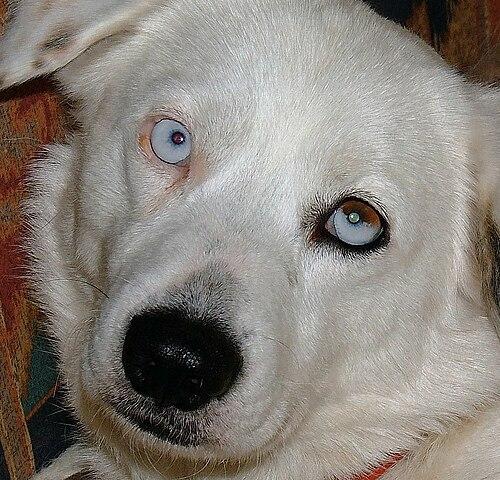 Bi Eyed Dogs