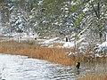 FL Cormorant (5304177342).jpg