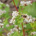 Fagopyrum esculentum-IMG 6189.jpg