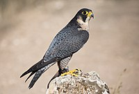 Falco peregrinus - 01.jpg