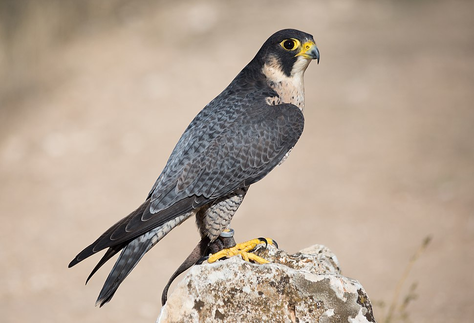 Falco peregrinus - 01