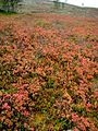 Fall colors in Lapland 2012.jpg