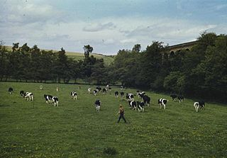 Cowman (profession) person who works specifically with cattle
